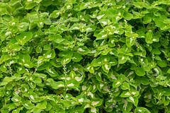 Green and White (nak.viognier) Tags: ryokuchipark osaka  olympusepl3 mzuikodigitaled60mmf28macro
