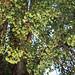 Großer Ginkgobaum (Ginkgo biloba)
