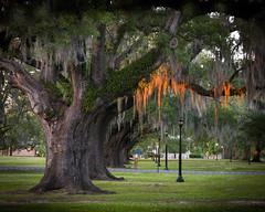 Live-Oak-Sunset (Ray Devlin) Tags: uptown new orleans magazine street magazinestreet audubon park audubonpark live oak spanish moss trees nikon d300