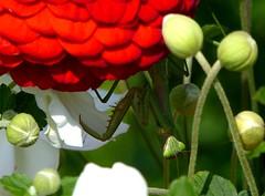 Hanging Mantis (mudder_bbc) Tags: mantid prayingmantis camouflage insectpredator predator hunting