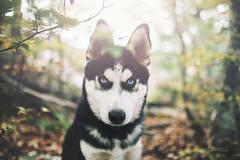 STZ_5555fb (szugic) Tags: husky huskie dog puppy sigmaart nikon