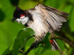 DSC_0047 red-whiskered bulbul (Pycnonotus jocosus) (rabbiv) Tags: redwhiskeredbulbul bulbul pycnonotusjocosus nikon d7100
