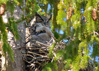 Mum and Baby Great Horned Owl Snuggling Together
