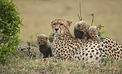 Small tasty ear! (Jambo53 (catching up)) Tags: nature mammal kenya wildlife ngc young natuur safari npc cheetah cubs predator familyportrait conservancy masaimara eastafrica sigma50500 acinonyxjubatus jonkies roofdier jachtluipaard zoogdier welp nikond80 robertkok jambo53 oostafrika