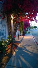 Bougainvillea shadows (Ms. Jen) Tags: california light evening shadows bougainvillea culvercity lumia lumia1020 nokialumia1020