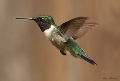 Hummingbird (Diane Marshman) Tags: red brown white motion black male green bird nature neck back inflight spring wings long hummingbird adult action head pennsylvania wildlife chest tail small flight beak feathers pa upper ruby hummer throat northeast rubythroated hoovering throated