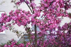 Spring colors of 2015 (Z!SL) Tags: street nyc newyorkcity flowers newyork nature brooklyn spring dof bokeh sony depthoffield 2015 bokehwhores bokehwhore sonyphotographing minoltaemount sel50f18 nex5r