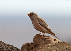 trumpeter finch (roly2008.) Tags: birds canon spain wildlife lanzarote finch canaryislands trumpeterfinch 100400mkii