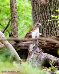 Immature Red-tailed Hawk (mikerhicks) Tags: usa bird geotagged spring unitedstates nashville hiking tennessee wildlife redtailedhawk percywarnerpark warnerparks nashvillehikingmeetup vaughnsgap canon7dmkii sigma18250mmf3563dcmacrooshsm geo:lat=3606667333 geo:lon=8687659833