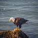 Bald eagle and fish.
