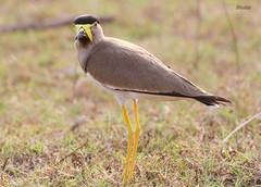 Eye 2 Eye (Dr.Bhattu) Tags: india lake bird photography wildlife lapwing hyderabad vanellus malabaricus gandipet telangana yellowwattled bhattu