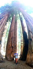 The congress, grove of sequoia trees (Rudolfwm) Tags: sequoia bigtrees sequoianationalpark kingscanyon congressgrove