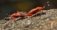 DSC_0345 (Shutter Sloka) Tags: nature bugs mating nikkor hyderabad naturephotography telangana nikond5200 vamshigadagoniphotography