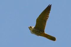 DSC_5900 boomvalk (Falco subbuteo)