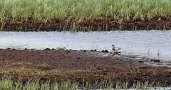 Garganey in Scotland (KingfisherDreams) Tags: bird nature scotland duck wildlife oiseau canards anatidae renfrewshire garganey anasquerquedula sarcelledété rspblochwinnoch