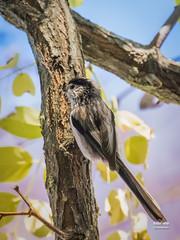 Mito (Aegithalos caudatus. Linnaeus, 1758) (EcoFoco juanma.coria) Tags: espaa naturaleza fauna aves otoo mito extremadura coria biodiversidad valledelalagn parquedecadenetas aegithaloscaudatuslinnaeus1758