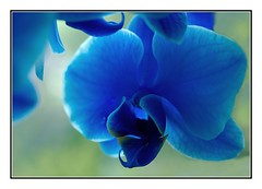 Blue Orchid (kurtwolf303) Tags: blue plant orchid flower macro nature topf25 closeup topf50 topf75 colorful 500v20f blossom natur pflanze blau orchidee blume blte topf100 nahaufnahme omd 750views 1000v40f 250v10f systemcamera unlimitedphotos micro43 microfourthirds olympusem1 kurtwolf303