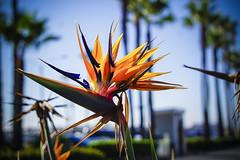 2015_10_Newport_0567 (Maureen_Kovacs) Tags: blue waves newportbeach hibiscus