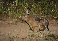 Lepre sarda (Bobore Frau) Tags: lepre sarda lepus capensis leppore nuoro barbagia sardegna boborefrau