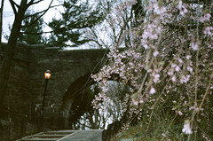 fort tryon park (Yun-Chen Jenny) Tags: park nyc newyorkcity spring cherryblossom  washingtonheights forttryonpark