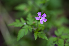 Kakost (Crones) Tags: flower macro nature canon czech sigma czechrepublic 6d 105mm sigma105mm srbsko centralbohemianregion canoneos6d