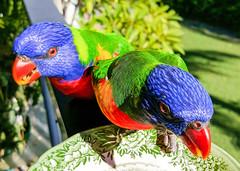 Saturday Morning Lorokeets (nzboyinoz) Tags: nature birds mobile phone samsung australia queensland lorikeets s6 naturesfinest