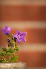 Campanula (WillemijnB) Tags: flower nature wall fleurs spring purple violet natuur lila brickwall buds campanulaceae campanula lente mur printemps cloche muur paars bloem voorjaar baksteen campanule klokje klokjesbloem