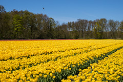 Dutch Spring (romanboed) Tags: leica flowers blue trees sky holland bird netherlands dutch field yellow landscape countryside spring tulips farm sunny m agriculture 50 summilux 240
