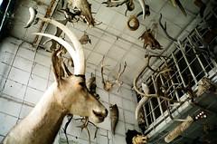 (Marco Antonecchia) Tags: bear animals horns taxidermy deer contax antelope fujifilm antilope t2 contaxt2 fujicolor agostinelli imbalsamato