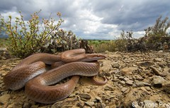 Boaedon capensis - Brown House Snake. Oudtshoorn, Klein Karoo. (Tyrone Ping) Tags: africa wild brown house canon southafrica angle snake wildlife flash twin 100mm f28 herps herpetology karoo capensis fieldherping herping wildherps boaedon