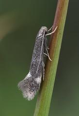 38.036  BF606 Elachista humilis (Patrick Clement.) Tags: humilis elachista nationalmothweek