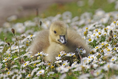 Daisy Gosling (Hugobian) Tags: canada bird nature birds animal fauna geese pentax goose explore valley british gosling stevenage fairlands explored