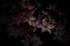 Lilies (guen-k) Tags:  dp0quattro sigma lilies