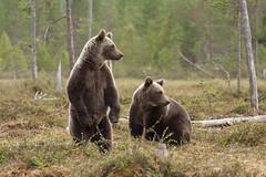 Bears (CantorNikolaos) Tags: abruzzo beautyinnature gransasso italy mountainrange summer nature outdoors trekking