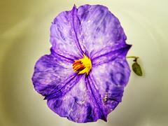 (K@spa) Tags: joo reganha jooreganha kspa flower flr