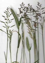 Grasses 150/366 EXPLORED (Hornbeam Arts) Tags: grass wildflowers
