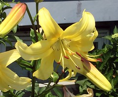 Lily ! (pmarella) Tags: flower jerseycity lily pmarella riverviewpkproductions