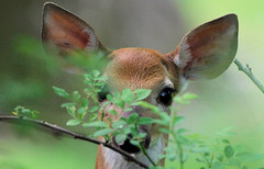 White-tailed Deer (Tiny Wallet Photography) Tags: deer fawn whitetailed