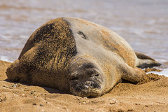 monkseal7Jun17-16 (divindk) Tags: hawaii hawaiianislands kauai neomonachusschauinslandi beach cute endangeredspecies hawaiianmonkseal lazy marine marinemammal monkseal seal sunshine whiskers