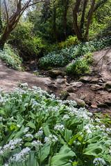 Fairlight Glen, Hastings Country Park (ghostwheel_in_shadow) Tags: wild england flower sussex flora stream europe unitedkingdom burn brook hastings eastsussex ramsons wildgarlic hastingscountrypark woodlandflower fairlightglen englandandwales