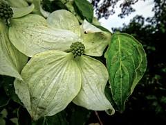 Spiders from China (Darling Starlings Flying the Nest) Tags: china summer hot tree girl garden sunny shrub humid cornus kousa
