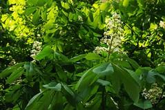 Bltenzauber im Baum - Blhende Rosskastanie (Aesculus hippocastanum); Bergenhusen, Stapelholm (69) (Chironius) Tags: stapelholm bergenhusen schleswigholstein deutschland germany allemagne alemania germania    ogie pomie szlezwigholsztyn niemcy pomienie blte blossom flower fleur flor fiore blten    grn laub rosids malvids sapindales seifenbaumartige sapindaceae seifenbaumgewchse hippocastanoideae rosskastaniengewchse acer ahorn baum bume tree trees arbre  rbol arbres  rboles albero  rvore aa boom trd gegenlicht