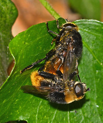 Narcissus Bulb Fly (John_E1) Tags: macro closeup bulb insect fly hoverfly narcissus equestris merodon