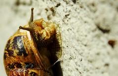 (gloriabalzarotti) Tags: detail animal snail lumaca animali
