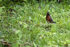 IMG_4612eFB (Kiwibrit - *Michelle*) Tags: tree grass birds woodpecker squirrel maine feeder chipmunk monmouth 2016 061916