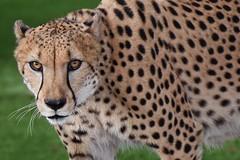 Cheetah (yan.cabrera) Tags: africa nikon bigcat d750 cheetah predator miamimetrozoo
