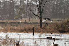 Swans (blachswan) Tags: australia victoria swans blackswan ballarat wetland birdinflight winterswamp mullahwallahwetlands