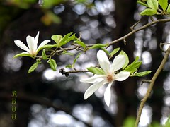 white magnolia blossom (Ryuu) Tags: greenleaves plant tree nature dof blossom bokeh branches bloom magnolia twigs whiteflowers bloomingtree floralcomposition