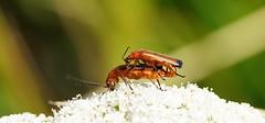 Sometimes... (SteveJM2009) Tags: beetles mating flower dof focus bokeh kingstonlacy dorset uk july 2016 summer stevemaskell naturethroughthelens