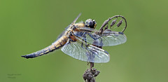 Four spotted chaser (libellula quadrimaculatta) (Pikingpirate1) Tags: chaser 4 spot dragon flie ngc